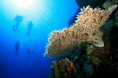 Acropora Table Coral and Scuba Divers in the Red Sea poster