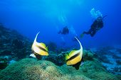 Divers and pair of Bannerfish