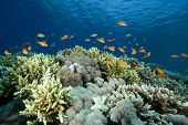 Coral Reef and Lyretail Anthias