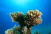 Acropora Coral poster