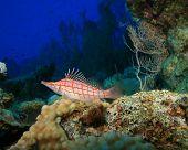 picture of hawkfish  - Longnose Hawkfish  - JPG
