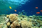 Shallow coral reef with anthias and Sergeant Major fishes