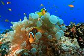 Red Sea Anemonefishes (Amphiprion bicinctus)