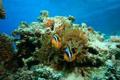 Red Sea Anemonefishes in a Bubble Anemone