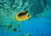 Red Sea Raccoon Butterflyfish (Chaetodon fasciatus)