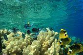 pic of sergeant major  - Red Sea Raccoon Butterflyfish  - JPG