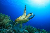 Hawksbill Sea Turtle takes off after feeding on a coral reef