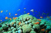 Lyretail Anthias on Coral