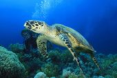 Hawksbill Turtle with Scuba Diver giving the okay signal