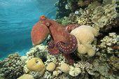 Pulpo de arrecife (pulpo cyaneus)