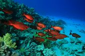 pic of bigeye  - Shoal of Crescent - JPG