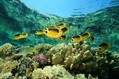 Fish and coral: Butterflyfishes on a shallow reef