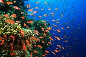 Hard Corals and Lyretail Anthias Fish