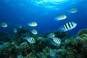 stock photo of sergeant major  - Underwater image of School of Scissortail Sergeant Fish on a Coral Reef in the Red Sea - JPG