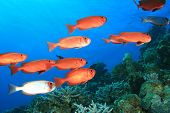 Shoal of Crescent-tailed Bigeye fish on a tropical coral reef
