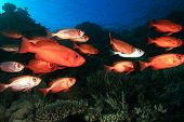 School (shoal) of Crescent-tailed Bigeye Fish on a tropical coral reef