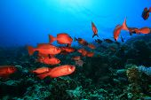 Shoal of Crescent-tailed Bigeye fishes on a coral reef in the Red Sea
