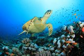 stock photo of sea-turtles  - Hawksbill Sea Turtle  - JPG