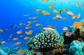 picture of hawkfish  - Lyretail Anthias Fish on Coral Reef - JPG
