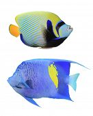 Peixes tropicais (escalares): Imperador Angelfish (Pomacanthus imperator)(top) e Lebre mancha amarela Angelfish (P