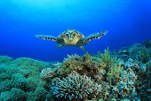picture of biodiversity  - Hawksbill Sea Turtle glides over pristine coral reef - JPG