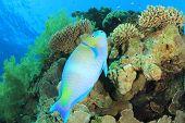 Rusty Parrotfish (Scarus ferrugineus) on coral reef
