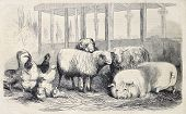 Antique illustration of farm animals. Original, from drawing of Lambert, published on L'Illustration