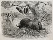 Old illustration of  famous explorer Captain John Hanning Speke shooting a buffalo. Created by Bayar