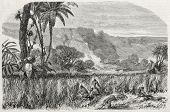 Old illustration of Bombonaxa harvesting, palm straw used to weave Panama hats. Created by Yan'd,  published on L'Illustration Journal Universel, Paris, 1857