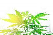 Cannabis Flower Indoor Growing. Home Grow Legal Recreational Cannabis. Marijuana Business. Grow In G poster