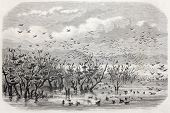 Old illustration of ducks and their nests in Fetzara lake, Algeria. Created by Lucy, published on L'Illustration Journal Universel, Paris, 1857