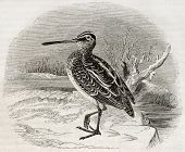 Old illustration of a snipe (Scolopax gallinago). By unidentified author, published on Magasin Pitto