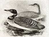 Old naturalistic illustration of Great Northern Loon (Gavia imber). By unidentified author, publishe