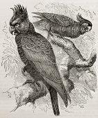 Old illustration of Gang-gang Cockatoo (Callocephalon fimbriatum). Created by Kretschmer, published on Merveilles de la Nature, Bailliere et fils, Paris, 1878