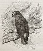 Old illustration of a Grey parrot (Psittacus erithacus). Created by Kretschmer, published on Merveilles de la Nature, Bailliere et fils, Paris, 1878
