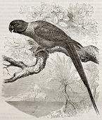 Old illustration of Rose-ringed Parakeet (Psittacula krameri). Created by Kretschmer and Jahrmargt, published on Merveilles de la Nature, Bailliere et fils, Paris, 1878