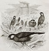 Old illustration of Java Sparrow (Padda oryzivora). Created by Kretschmer and Schmid, published on M