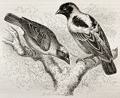 Old illustration of Ruppell Weaver (Ploceus galbula) and Heuglin Masked Weaver (Ploceus heuglini). C