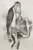 Old illustration of Northern Goshawk (Accipiter gentilis). Created by Kretschmer and Schmid, publish