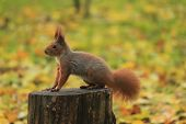Squirrel Autumn Park Forest Leaves Stump Tree Rodent poster