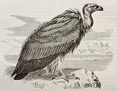 Old illustration of Griffon Vulture (Gyps fulvus). Created by Kretschmer, published on Merveilles de la Nature, Bailliere et fils, Paris, 1878