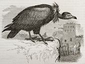 Old illustration of Hooded Vulture (Necrosyrtes monachus). Created by Kretschmer and Jahrmargt, published on Merveilles de la Nature, Bailliere et fils, Paris, 1878