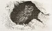 Little Owl old illustration (Athene noctua). Created by Kretschmer and Wendt, published on Merveille