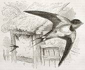 Barn Swallow old illustration (Hirundo rustica). Created by Kretschmer and Jahrmargt, published on M