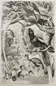 Asian Paradise Flycatcher old illustration (Tersiphone paradisi). Created by Kretschmer, published on Merveilles de la Nature, Bailliere et fils, Paris, 1878