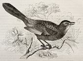 Grey Catbird old illustration (Dumetella carolinensis). Created by Kretschmer and Schmid, published