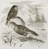 Alpine Accentor old illustration (Prunella collaris). Created by Kretschmer, published on Merveilles