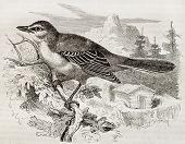 Northern Mockingbird old illustration (Mimus Polyglottos). Created by Kretschmer and Illner, publish