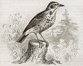 Tree Pipit old illustration (Anthus trivialis). Created by Kretschmer, published on Merveilles de la