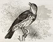 Song Thrush old illustration (Turdus philomelos). Created by Kretschmer, published on Merveilles de
